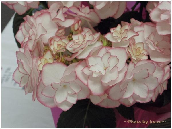 名前がケイコさんのお母さんに贈りたい!鉢植え「アジサイ KEIKO~希少な新品種!~」