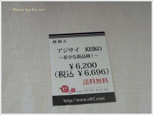 鉢植え「アジサイ KEIKO~希少な新品種!~」4