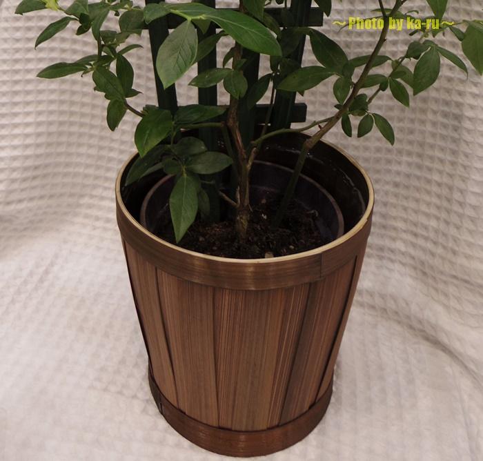 【父の日ギフト】鉢植え「実付きブルーベリー=収穫が待ちどおしい=」2