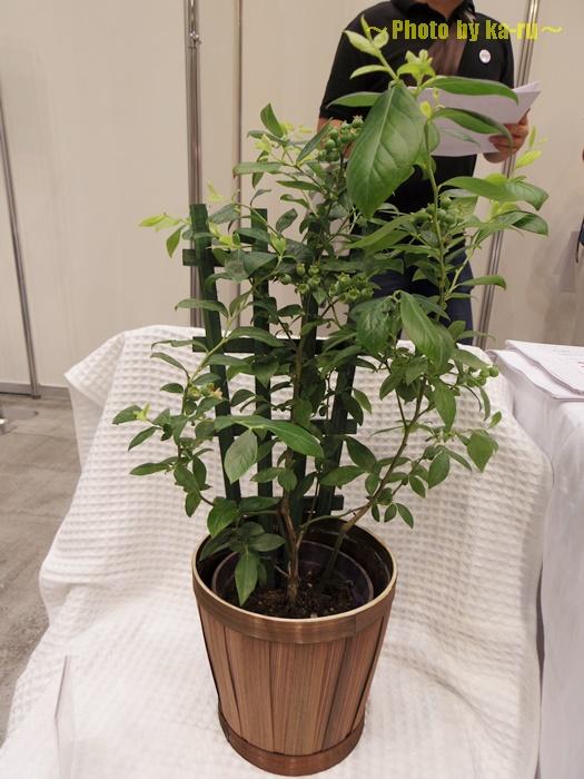 【父の日ギフト】鉢植え「実付きブルーベリー=収穫が待ちどおしい=」006