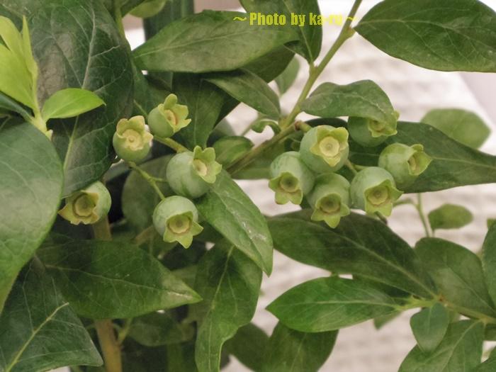 【父の日ギフト】鉢植え「実付きブルーベリー=収穫が待ちどおしい=」003