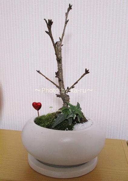 初心者にもオススメな桜の盆栽!咲くのが楽しみ!盆栽「ハートにサクラ咲く」