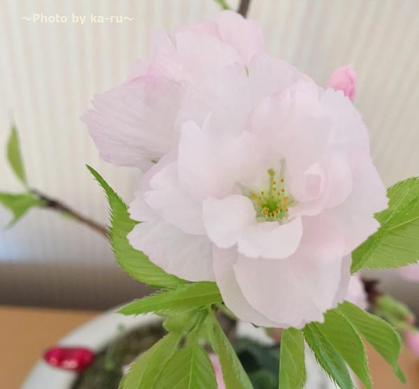満開!イイハナ 盆栽「ハートにサクラ咲く」 感想