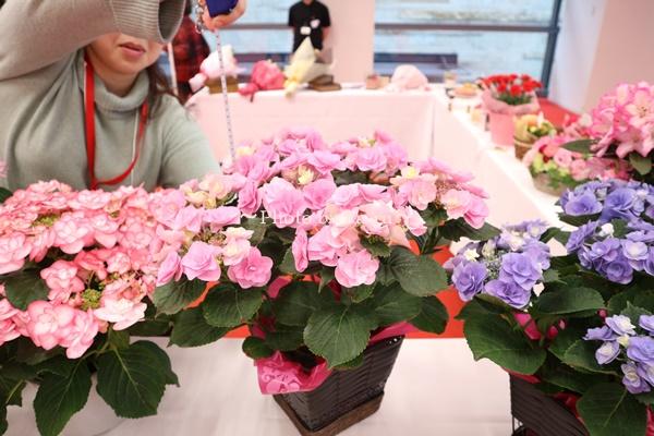 3種類比較【送料無料】母の日にオススメ「アジサイの鉢植え」e87_大きさ