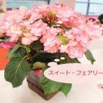 3種類比較【送料無料】母の日にオススメ「アジサイの鉢植え」e87_スイート・フェアリー