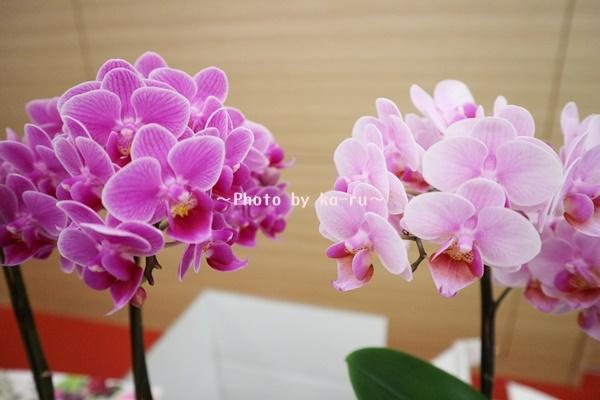 イオンショップ胡蝶蘭サスティー_ココロ、ピコ2