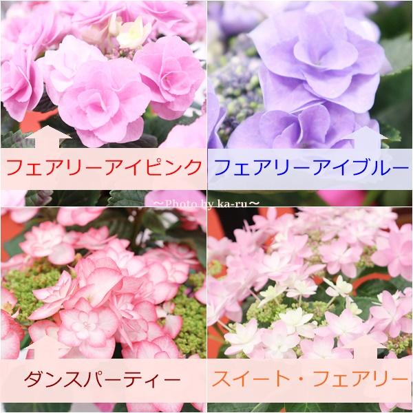 3種類比較【送料無料】母の日にオススメ「アジサイの鉢植え」e87_花比較