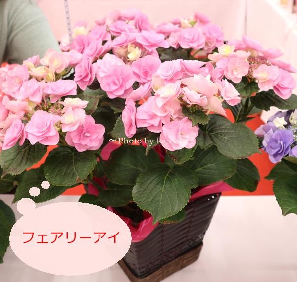 3種類比較【送料無料】母の日にオススメ「アジサイの鉢植え」e87_フェアリーアイ