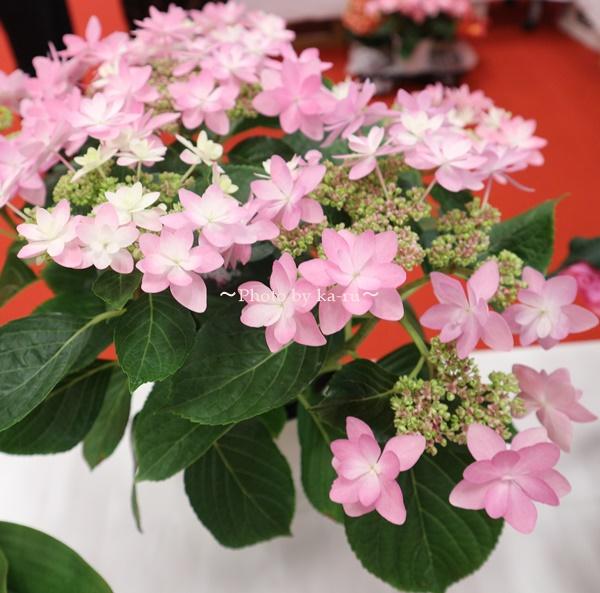 3種類比較【送料無料】母の日にオススメ「アジサイの鉢植え」e87_ダンスパーティー2