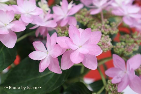 3種類比較【送料無料】母の日にオススメ「アジサイの鉢植え」e87_ダンスパーティー3
