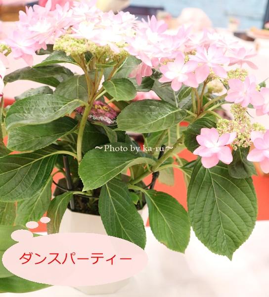3種類比較【送料無料】母の日にオススメ「アジサイの鉢植え」e87_ダンスパーティー