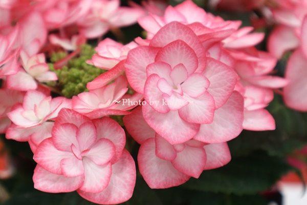 3種類比較【送料無料】母の日にオススメ「アジサイの鉢植え」e87_スイート・フェアリー3