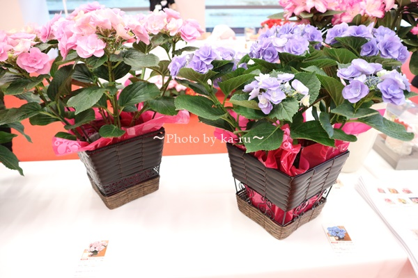 3種類比較【送料無料】母の日にオススメ「アジサイの鉢植え」e87_フェアリーアイピンクとブルー