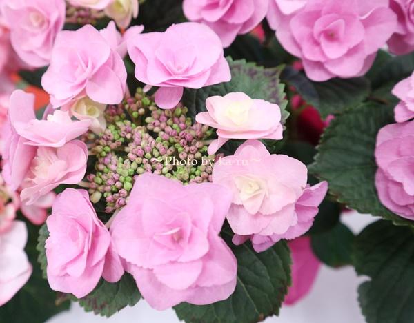 3種類比較【送料無料】母の日にオススメ「アジサイの鉢植え」e87_フェアリーアイ2