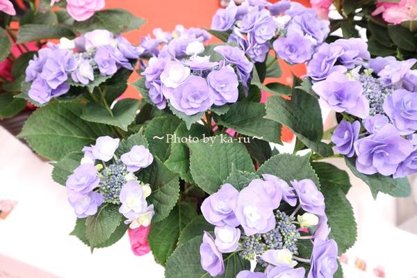3種類比較【送料無料】母の日にオススメ「アジサイの鉢植え」e87_フェアリーアイブルー