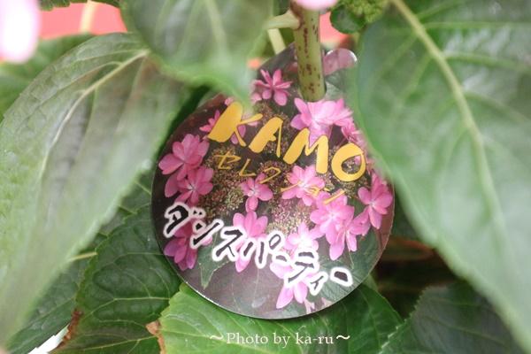 3種類比較【送料無料】母の日にオススメ「アジサイの鉢植え」e87_ダンスパーティータグ