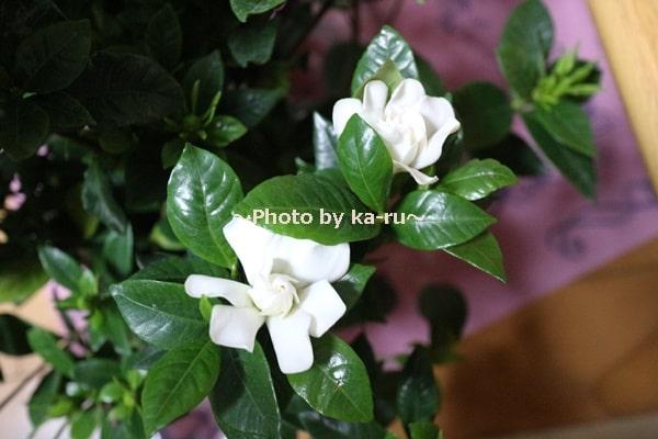 イイハナ母の日 鉢植え「癒しの天然アロマ ガーデニア(くちなし)」_くちなしの花 2つ
