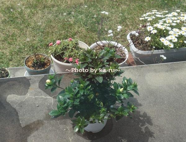 イイハナ母の日 鉢植え「癒しの天然アロマ ガーデニア(くちなし)」_くちなしのつぼみ 水やり