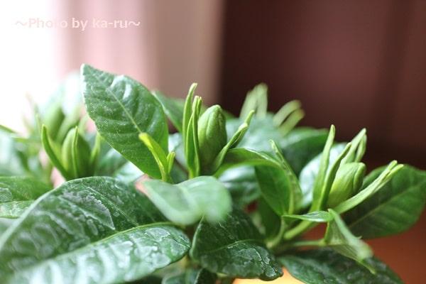 イイハナ母の日 鉢植え「癒しの天然アロマ ガーデニア(くちなし)」_くちなしのつぼみ まだたくさん