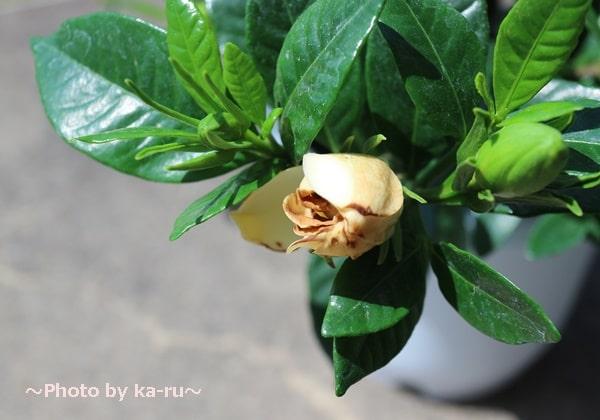 イイハナ母の日 鉢植え「癒しの天然アロマ ガーデニア(くちなし)」_くちなしのつぼみ 枯れて黄色なった