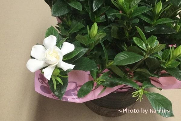 イイハナ鉢植え鉢植え「癒しの天然アロマ ガーデニア(くちなし)」_白いお花
