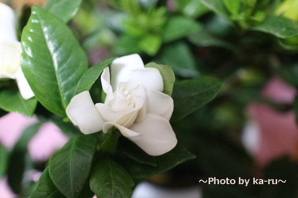イイハナ母の日 鉢植え「癒しの天然アロマ ガーデニア(くちなし)」_くちなしの花