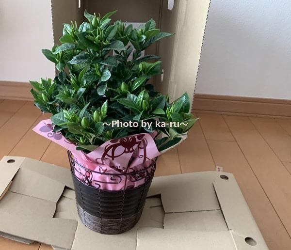 イイハナ母の日 鉢植え「癒しの天然アロマ ガーデニア(くちなし)」_くちなしのつぼみ