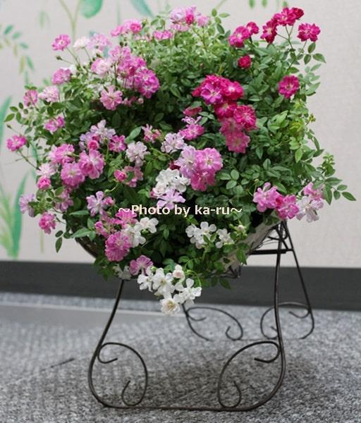 イイハナ鉢植え「Welcome Rose」