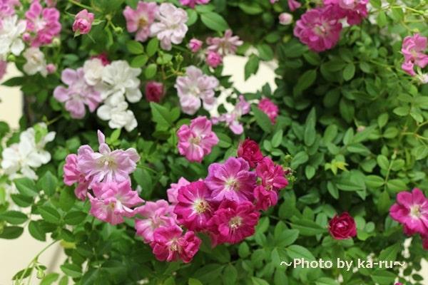 イイハナ鉢植え「Welcome Rose」_3色