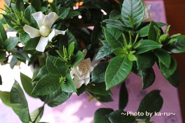 イイハナ母の日 鉢植え「癒しの天然アロマ ガーデニア(くちなし)」_