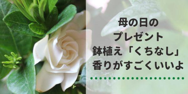 母の日のプレゼント 鉢植え「くちなし」 香りがすごくいいよ