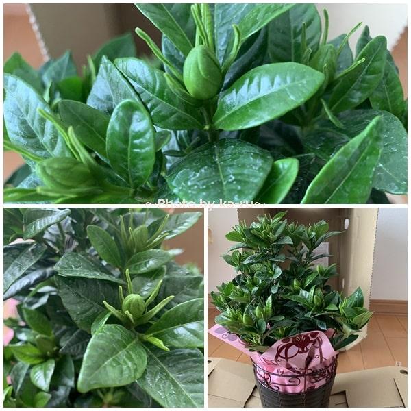 イイハナ母の日 鉢植え「癒しの天然アロマ ガーデニア(くちなし)」_つぼみたくさん